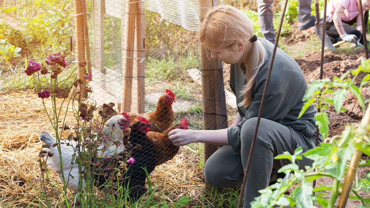Wie sieht der optimale Hühnerstall aus?