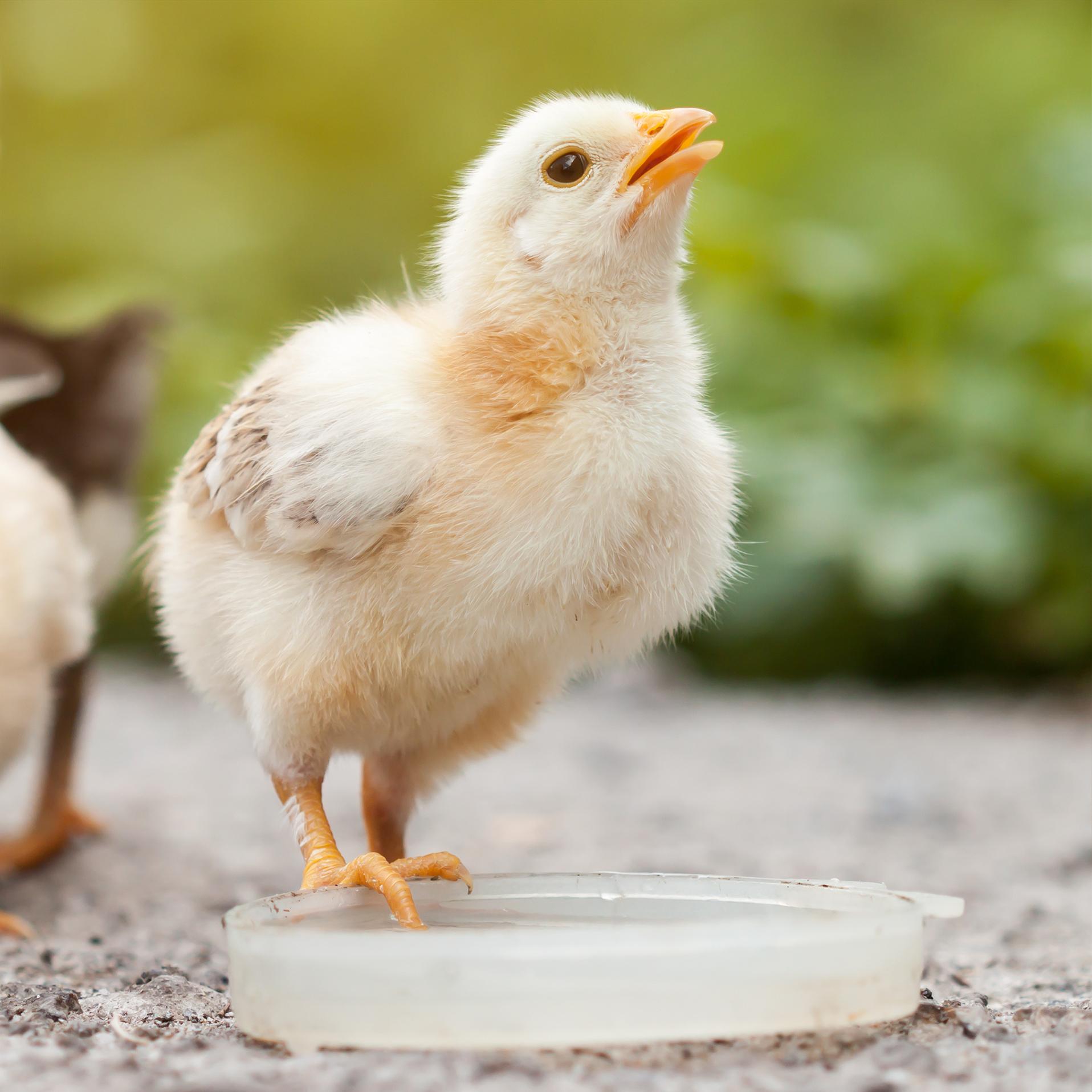 Küken Booster - optimale Küken Aufzucht - essenzielle Hühner Vitamine - Ida Plus